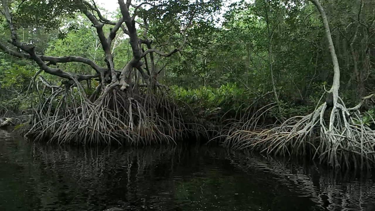 "2 Muestreo zona de manglar ""Tembladeras"", Paraíso, Tabasco - YouTube"