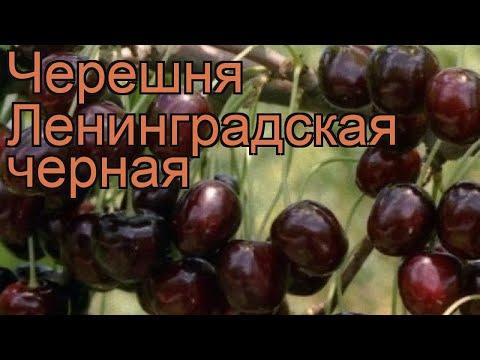 Как сажать черешню в ленинградской области