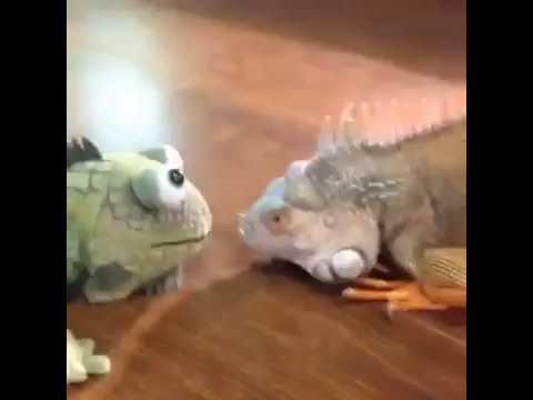 Çılgın iguana bey
