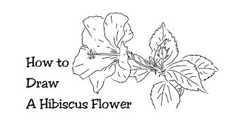 How to Draw a Beautiful Hibiscus Flower