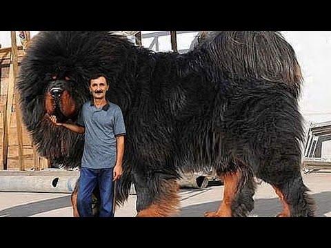 Фото челябинской сторожевой собаки