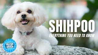 Shih Poo Dog Breed Information  The AllPerson Wonder Dog   Shih Poo Dogs 101