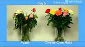 101 Красно белый тюльпан - YouTube