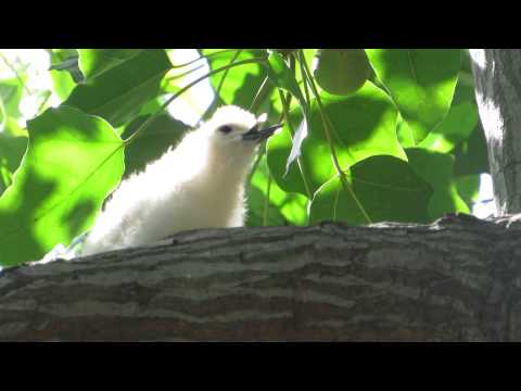White Tern chick swallowing large fish in Honolulu 3/17/14