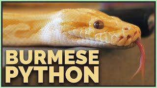 i-got-a-burmese-python-do-they-make-good-pets