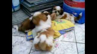 Filhote De Shitzu Brincando Com Meia.avi