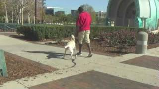 Elite Pro Dog Training: Trainer Laurent Teaches Maggie Lab Basic Sit, Down, Stay, Bed Commands