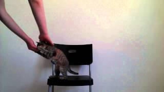 """Выполнение трюка """"Оффчик"""" - дрессировка кошек"""