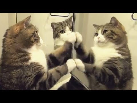 Cat in the mirror. Funny compilation.