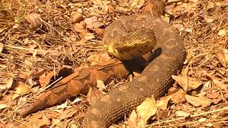 Massive Puff Adder, captured 17 August 2018