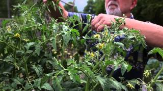 Hand #pollinate #tomato plants & more tips by the #TomatoWhisperer