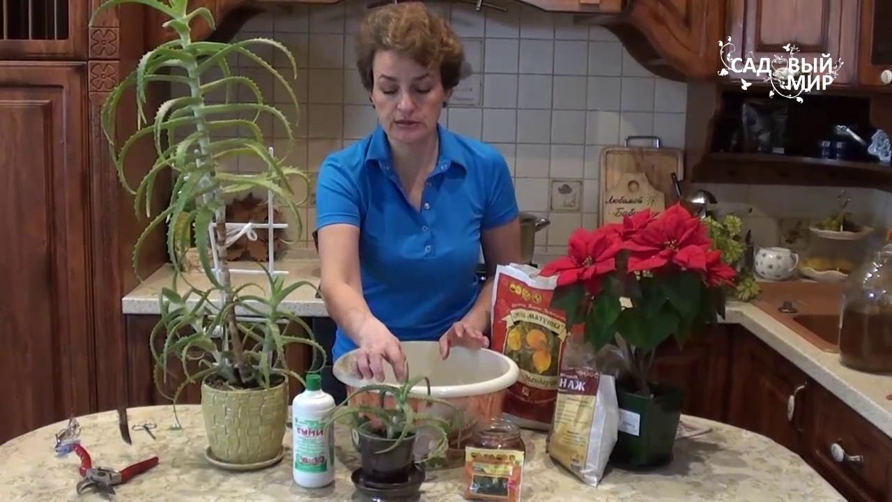 как правильно выращивать алоэ дома
