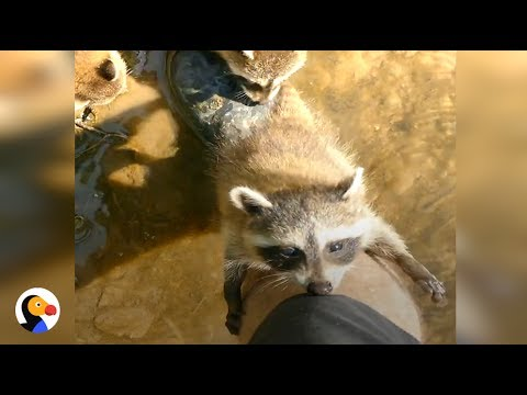 Baby Raccoons Follow Man, Make Him Their New Best Friend | The Dodo