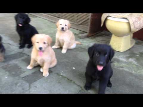 german shepherd/golden retriever mix at 7 weeks old responds to a call(dumaguete city)