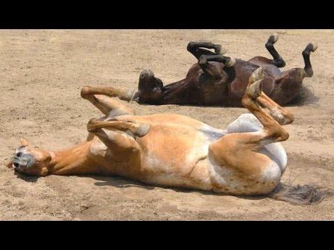 Lustige Pferde - ein lustiges Pferd Videos. Zusammenstellung