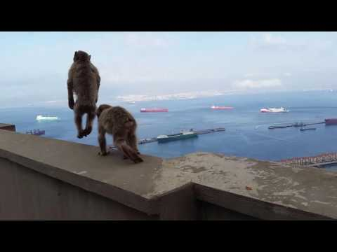 The barbary Apes, Rock of Gibraltar