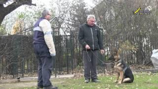 Собака для охраны, простая дрессировка нормального щенка овчарки