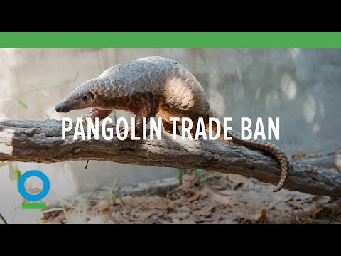Pangolin Trade Ban | Conservation International (CI)