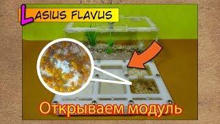 Открываем новый модуль ● Lasius flavus