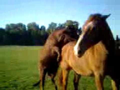 heste der boller