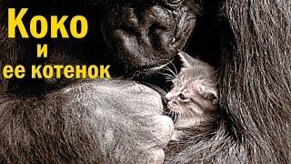 Горилла Коко и ее котенок Мячик [Русские субтитры]