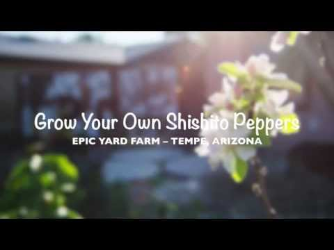 Grow Shishito Pepper in Tempe, Arizona
