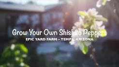 Grow Shishito Pepper in Tempe, Arizona