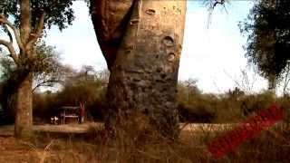 Baobab Tree, Adansonia Travel Video