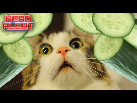 Why Cats Are Scared of Cucumbers - Simple Market - Fun ... Funny Cat Videos Cucumbers