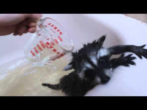 Cute n cuddly baby coons - baby racoon bath part 1 raccoon