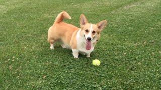 Go Fetch! / Mika The Corgi / Video