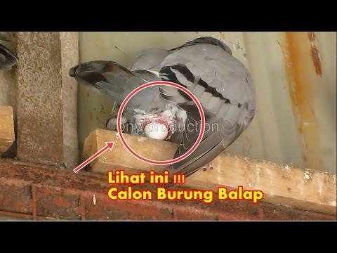 Lihat Detik-detik Kelahiran Calon Burung Merpati Balap Seharga $ 1.000
