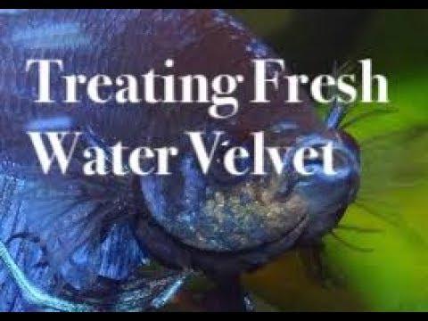 How To Treat Freshwater Velvet