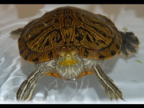How to get your turtle to eat. What to do if he refuses food.