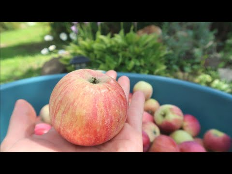 Самый урожайный сорт яблонь. Поспели яблоки в саду у дяди ....