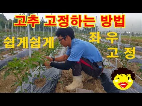 고추 재배 방법 고추 고정하는 방법 풀제거 �