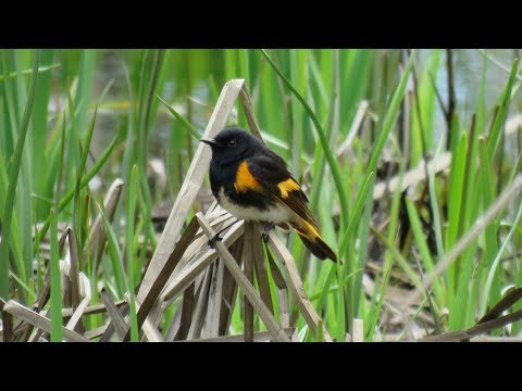American Redstart : Male at the nest
