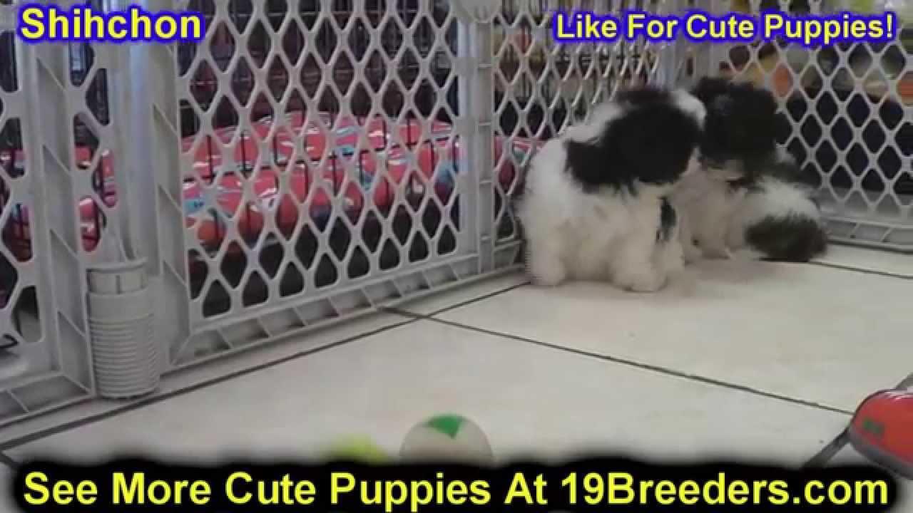Puppies For Sale In Albuquerque >> Shih Chon, Puppies, For, Sale, In, Albuquerque, New Mexico, NM, Gallup, Carlsbad, Alamogordo ...