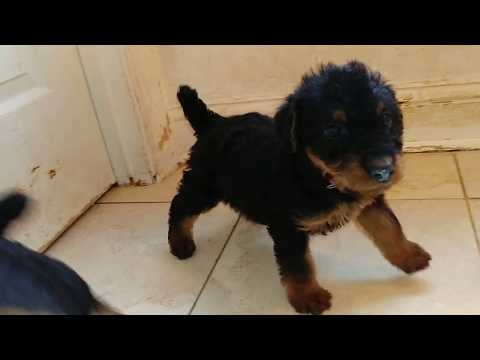 Jazzy's & Stout Lee's @ 6 Weeks AKC Purebred Airedale Terrier Puppies For Sale On December 14, 2018