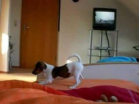 Jack Russell Terrier - Sunny erstes Bellen