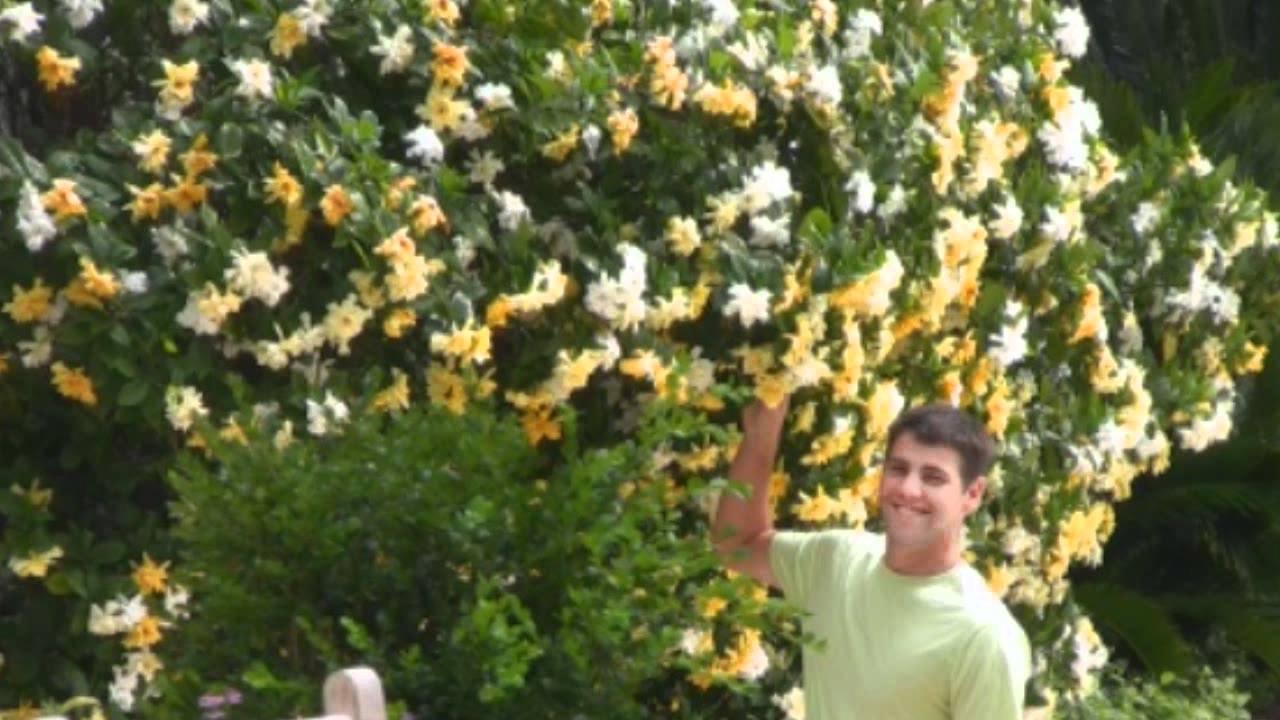 Frostproof gardenia bush yellow white gardenia shrub youtube