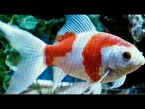 Variedades del Goldfish o pez japones en acuarios.