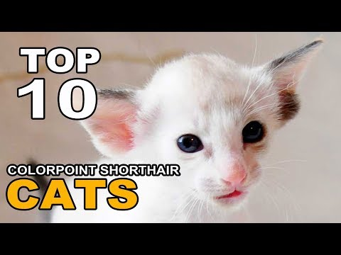 TOP 10 COLORPOINT SHORTHAIR CATS BREEDS