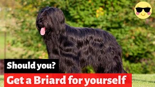 Briard | Should You Get Yourself This Amazing Breed?