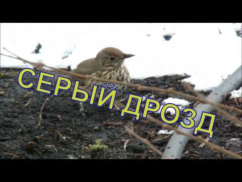 Вопрос: Дрозды перелетные птицы или нет Дрозды на Юг улетают или кочуют?