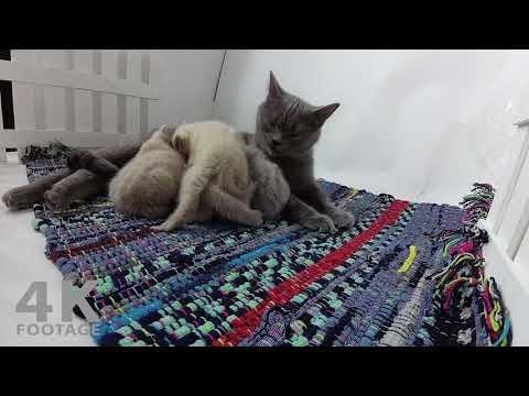 British Shorthair Mom Playing with Kittens - 4K footage