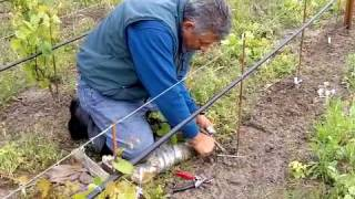 Field Grafting a New Vineyard at Small Vines Estate