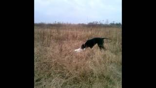 3,5 months old english pointer Korba and her first rabbit retrieving