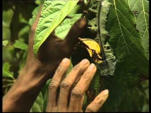 Butterfly Farming In Papua New Guinea