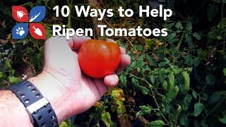 Do My Own Gardening - 10 Ways to Help Ripen Tomatoes